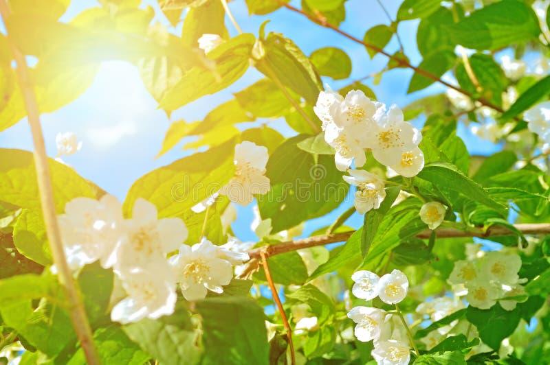 Witte tot bloei komende jasmijnbloemen in backlight royalty-vrije stock fotografie