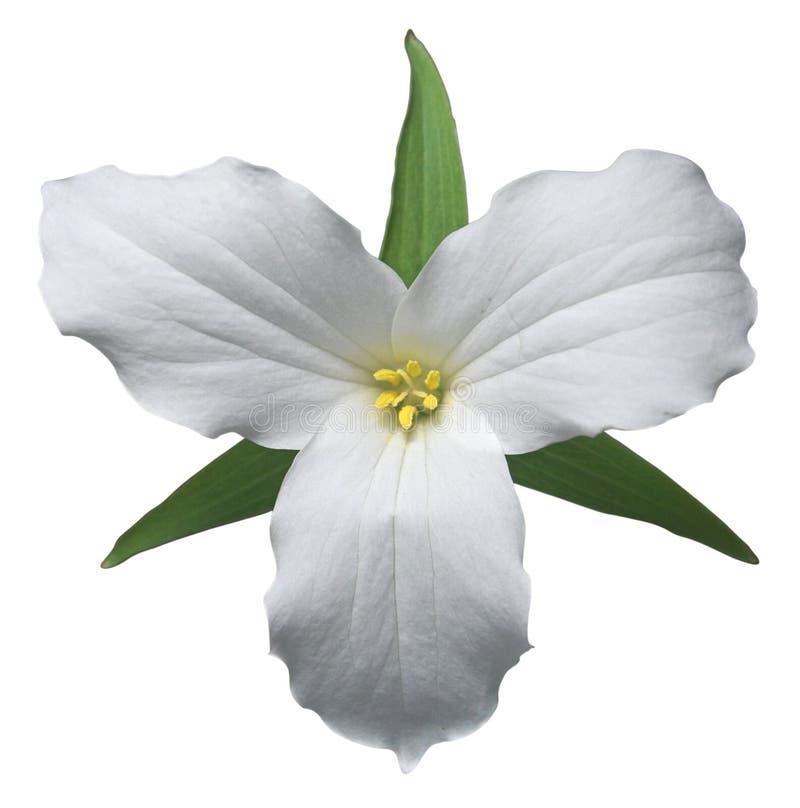 Witte trillium royalty-vrije stock foto