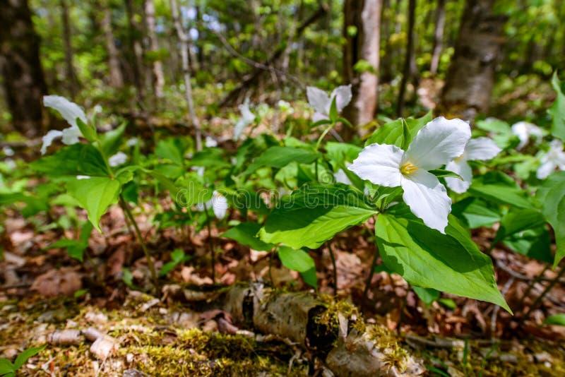Witte Trilliums op de bosvloer (lage hoek) stock afbeeldingen