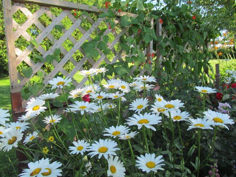 Witte tuinmadeliefjes stock fotografie
