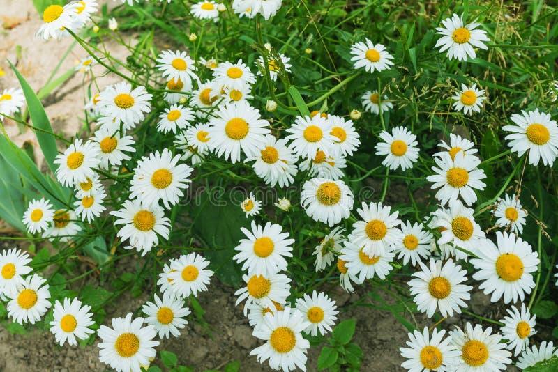 Witte tuinmadeliefjes stock afbeeldingen