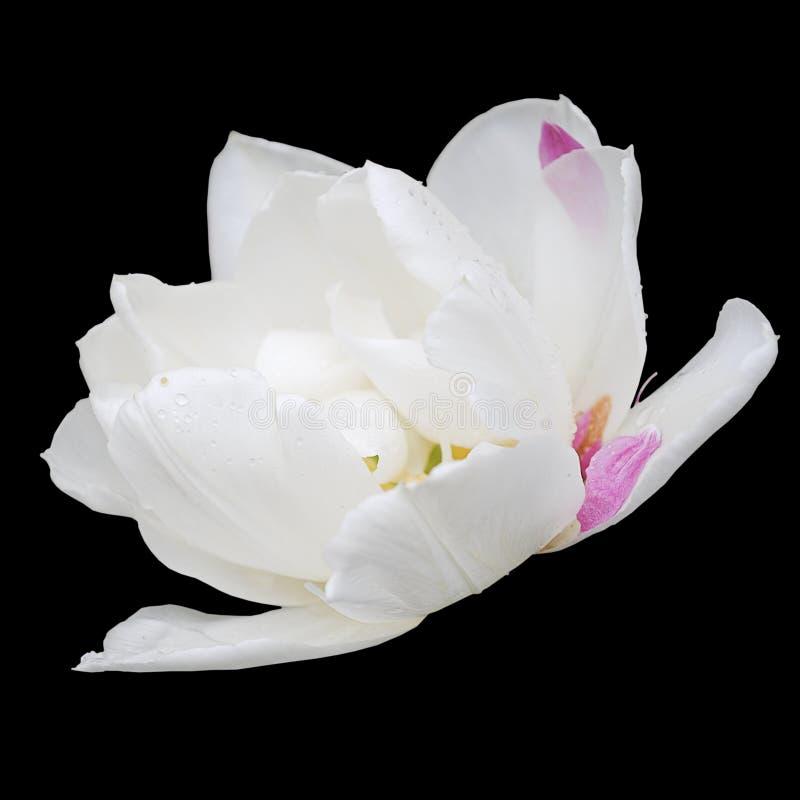 Witte tulp op zwarte stock afbeelding
