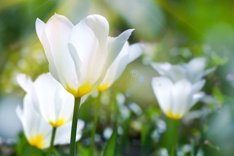 Witte tulpen royalty-vrije stock afbeelding