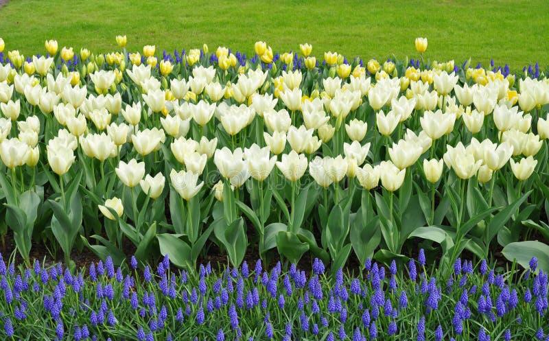 Witte tulpen, druivenhyacinten royalty-vrije stock afbeeldingen