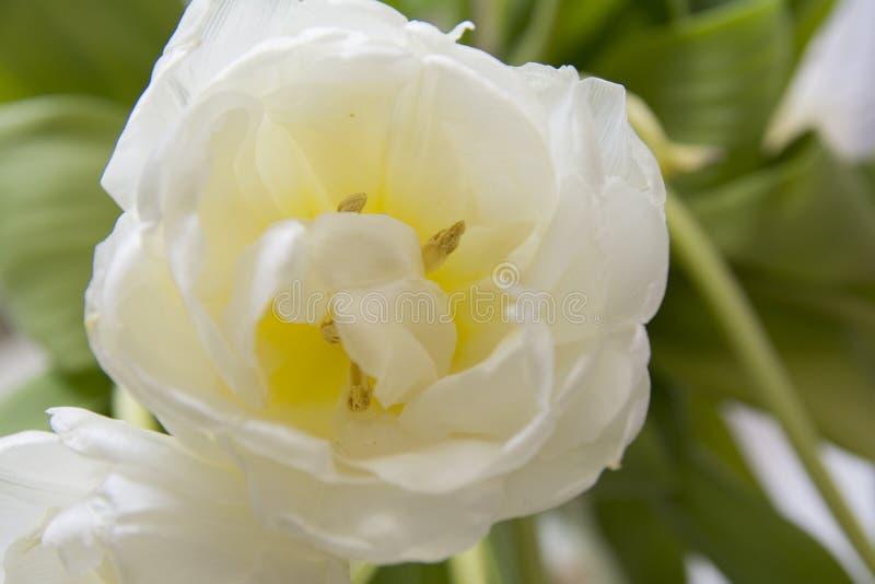 Witte tulpen macro groene bladeren royalty-vrije stock foto