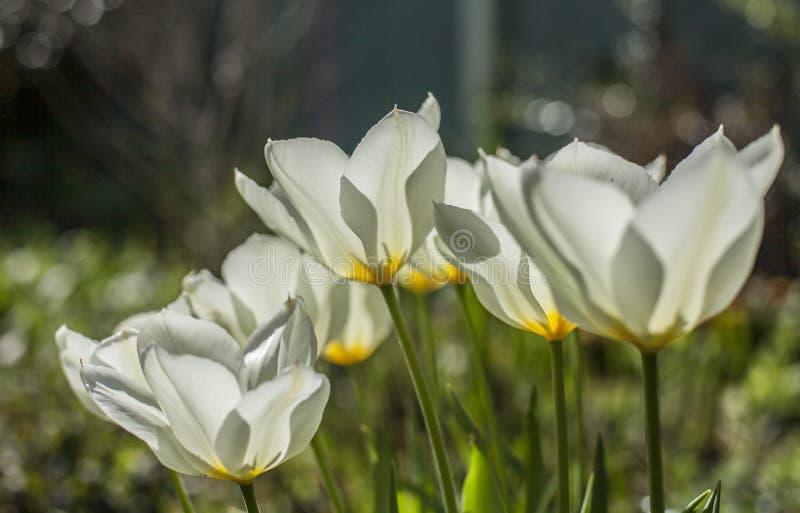 Witte tulpen op een zonnige dag, licht en helder stock fotografie