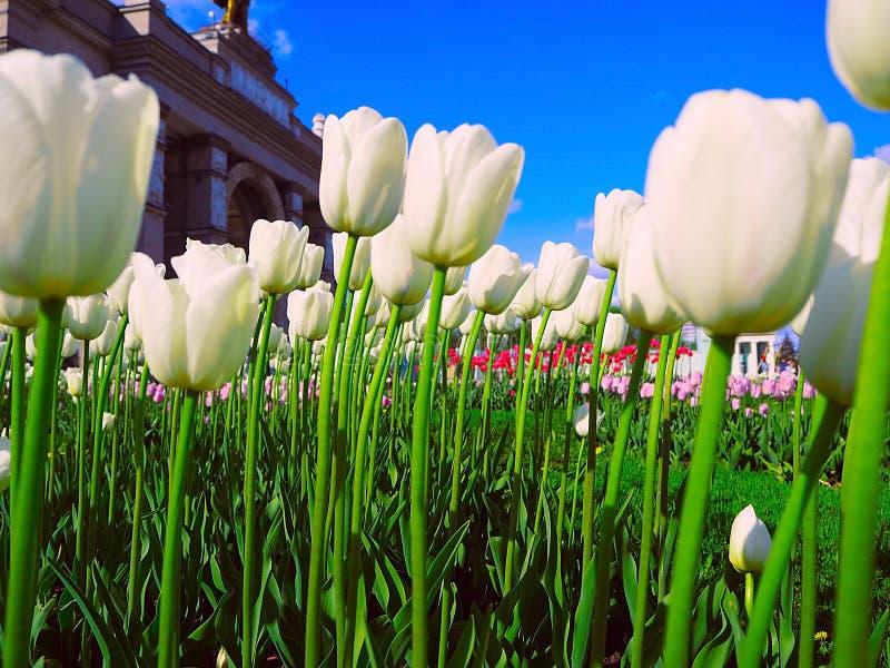 Witte tulpenbloemen die over blauwe hemelachtergrond groeien royalty-vrije stock fotografie