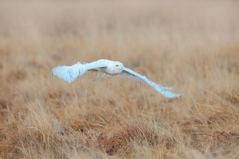 Witte uil in vlieg Sneeuwuil, Nyctea-scandiaca die, zeldzame vogel boven weide, de scène van de de winteractie met open vleugels  royalty-vrije stock fotografie