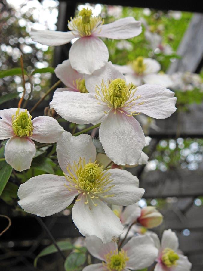 Witte van de de bloemengrens van rotsrozen wilde van de de installatieszomer de lente lange geraniums stock afbeelding