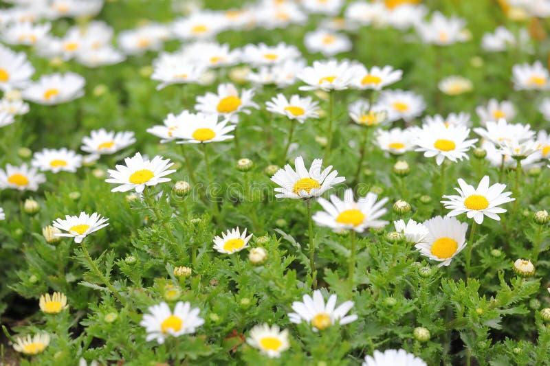 Witte van de de bloeminstallatie van Chrysantenarctica de tuinaard stock fotografie