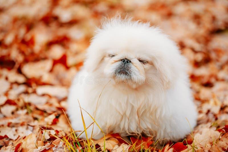 Witte van het de Pekineesjong van de Pekineespekinees het Puppyhond stock fotografie