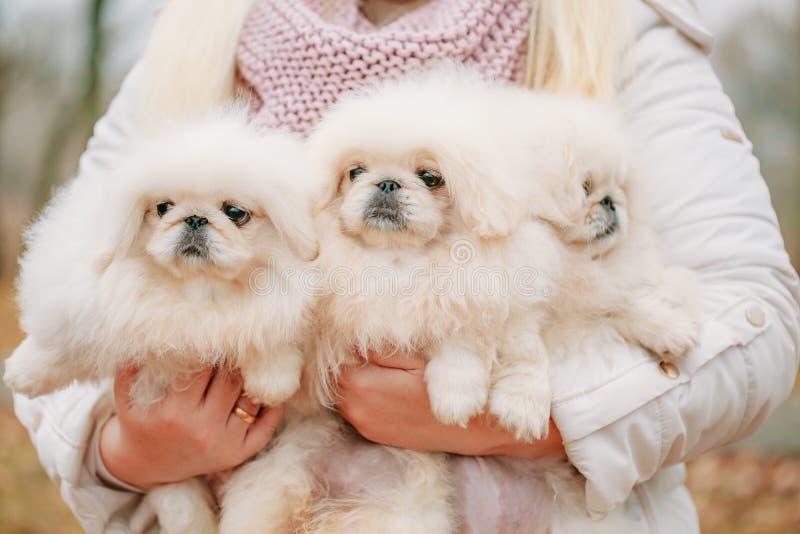 Witte van het de Pekineesjong van de Pekineespekinees het Puppyhond royalty-vrije stock afbeelding