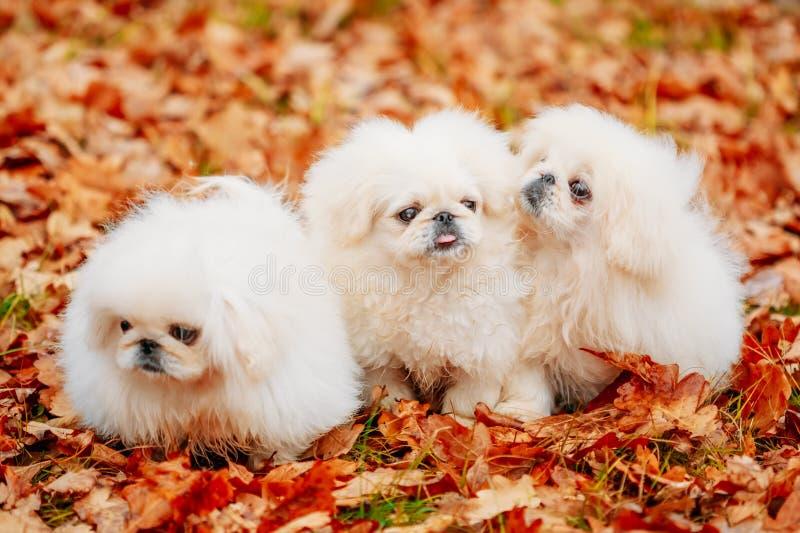 Witte van het de Pekineesjong van de Pekineespekinees het Puppyhond stock afbeeldingen