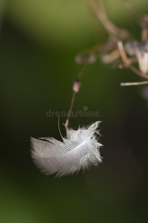 Witte veer stock afbeeldingen