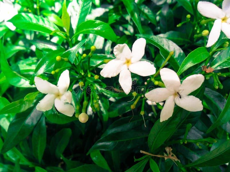 Witte Vinca Flower With een Mier stock fotografie