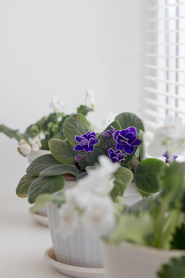 Witte viooltjes in een pot bloemen in potten op windowsi royalty-vrije stock afbeeldingen