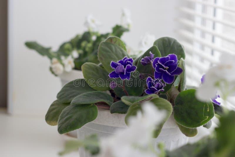 Witte viooltjes in een pot bloemen in potten op windowsi stock afbeelding