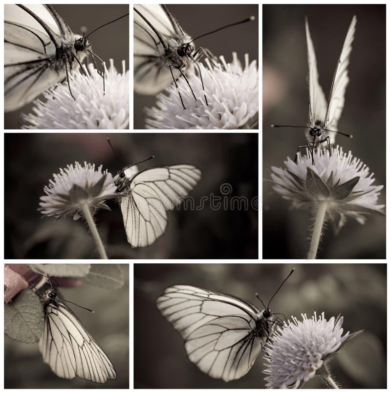 Witte vlinder stock foto
