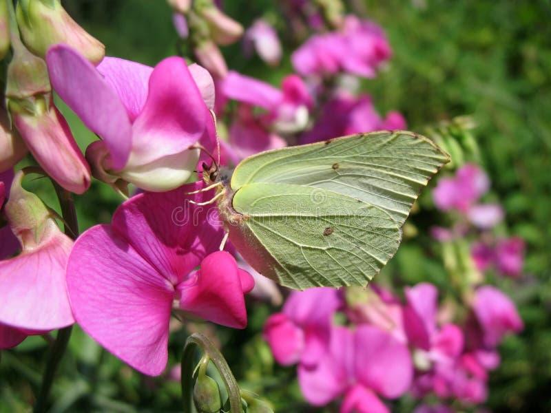 Witte vlinder aan de rang van geurig stock foto's