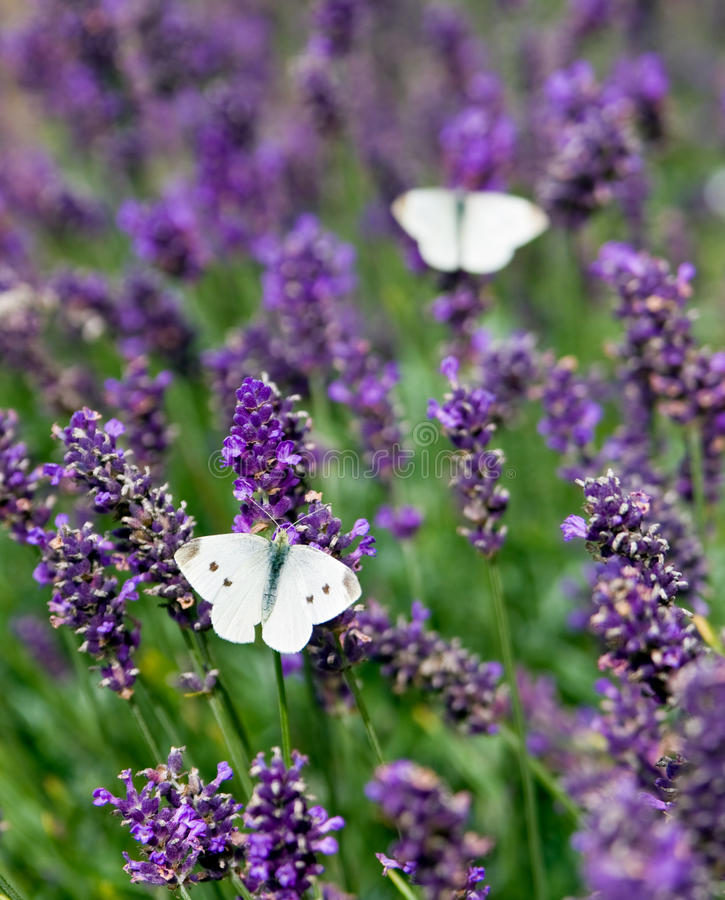 Witte vlinder op lavendel in de zomer stock foto