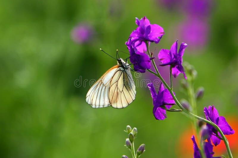 Witte vlinder op purpere stroom stock foto