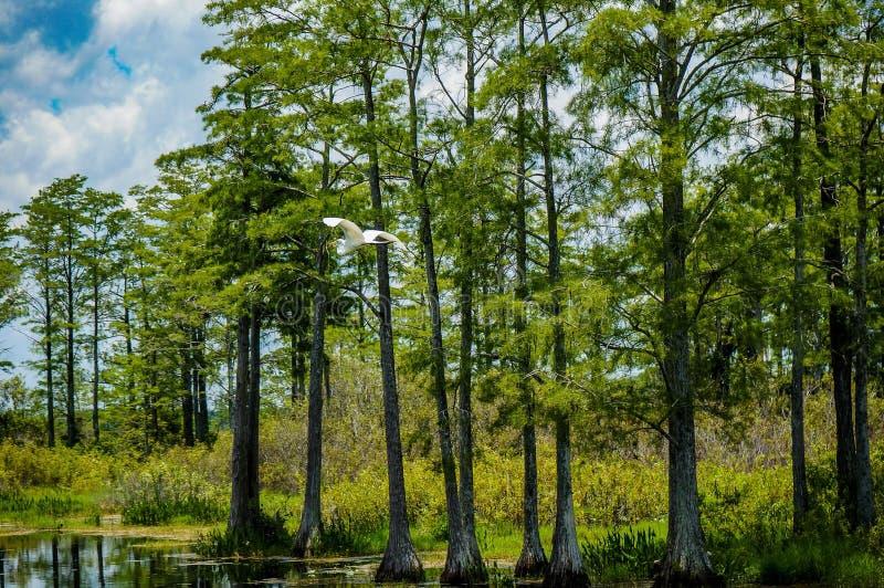 Witte vogel die in moeras vliegen stock afbeelding