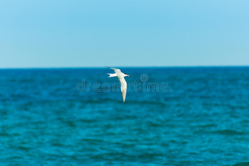 Witte vogelzeemeeuw die over turkooise overzees, uitgespreide vleugels, duidelijke blauwe hemel vliegen horizon, de zomer, vrijhe royalty-vrije stock foto's