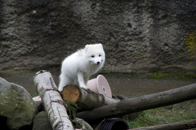 Witte vos in de Dierentuin en het Aquarium van de Puntuitdagendheid royalty-vrije stock foto