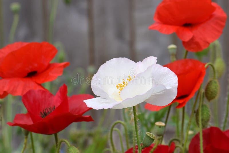 Witte Vredespapaver op Karmozijnrood Gebied 01 stock afbeeldingen