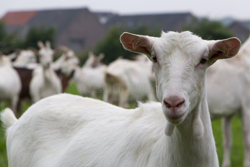 Witte vrouwelijke geit stock fotografie
