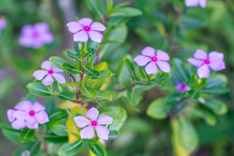 Witte waterkersbloemen van roze en wit bij tuin royalty-vrije stock foto's