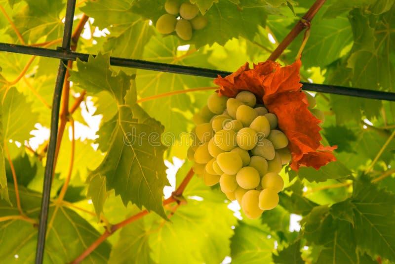 Witte Wijn Groene Druiven die het Hangen op Wijnstok in Huishoudengeep kweken stock foto