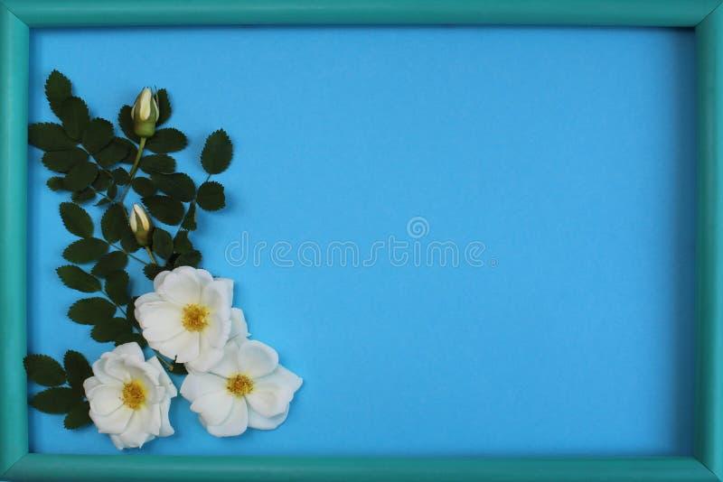 Witte wild nam op een blauwe achtergrond met kader toe royalty-vrije stock afbeeldingen
