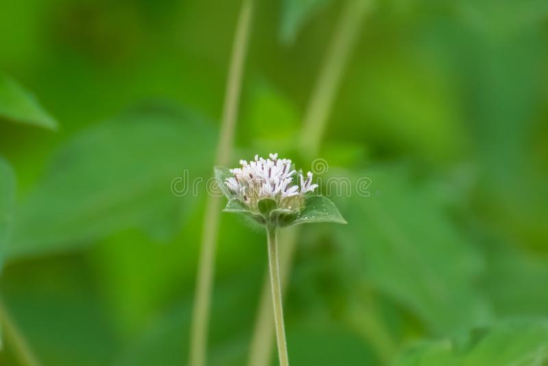 Witte wilde bloem stock fotografie
