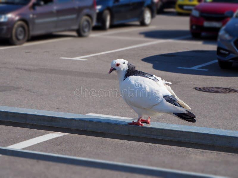 Witte wilde domestica van duifcolumba livia zit op de omheining in het parkeerterrein stock afbeeldingen