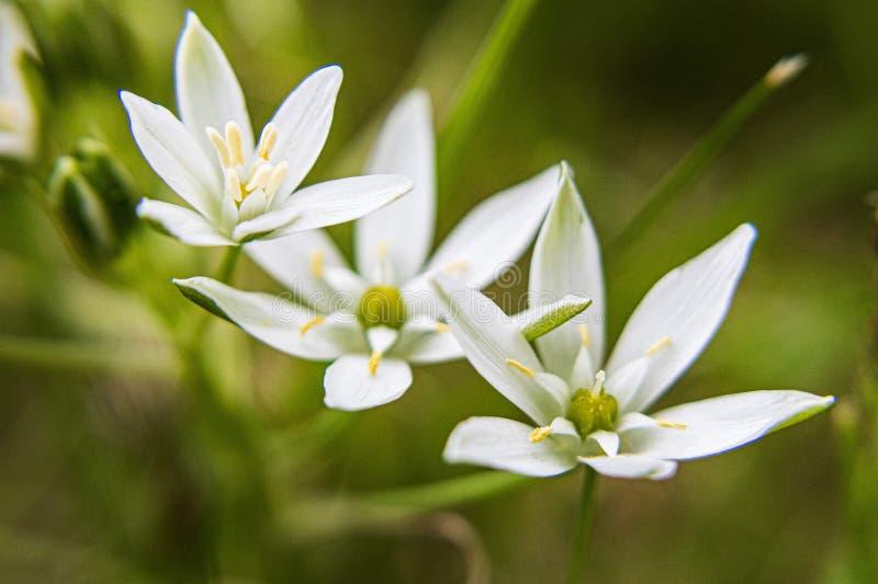 Witte Wilde Grasbloemen stock afbeeldingen