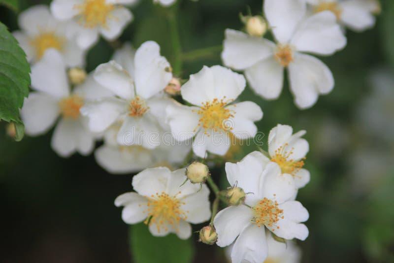 Witte wilde rozen (Rosa soorten ) royalty-vrije stock foto's