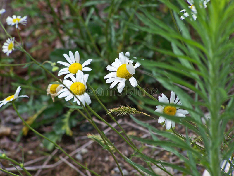 Witte wildflowers stock afbeelding