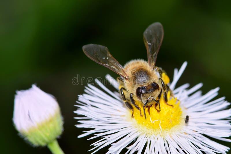 Witte wildflowers met bijen het bestuiven stock afbeeldingen
