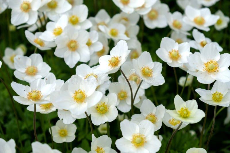 Witte wildflowers op het openluchtgazon stock foto