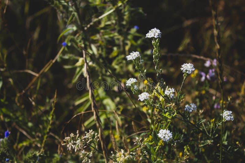 Witte wildflowers Zachte nadruk Er is een plaats voor tekst Illustratie op afzonderlijke lagen wordt gedaan die stock afbeeldingen