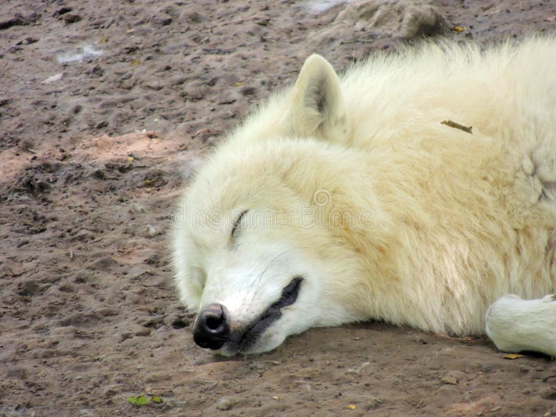 Witte wolf stock foto