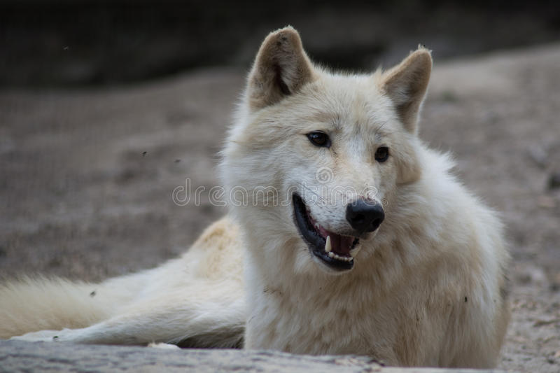 Witte Wolf stock foto's
