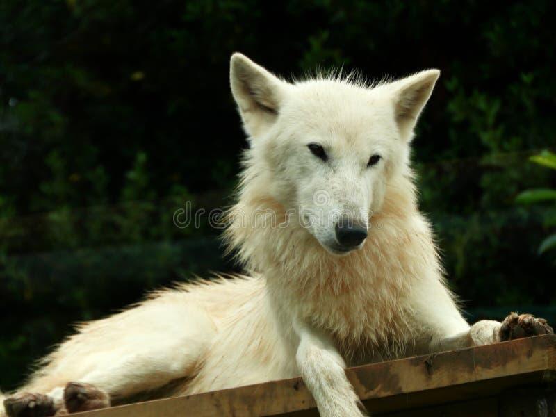 Witte Wolf stock afbeelding