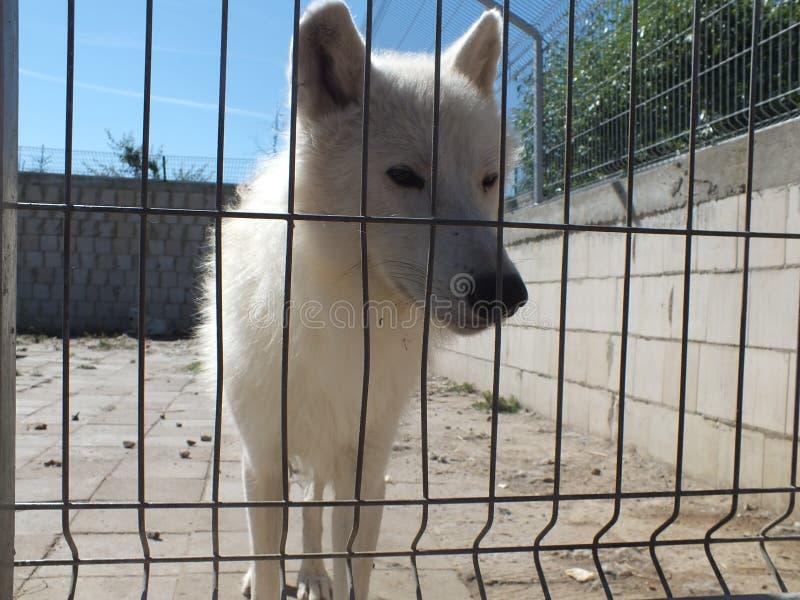 Witte wolf bij dierentuin stock fotografie