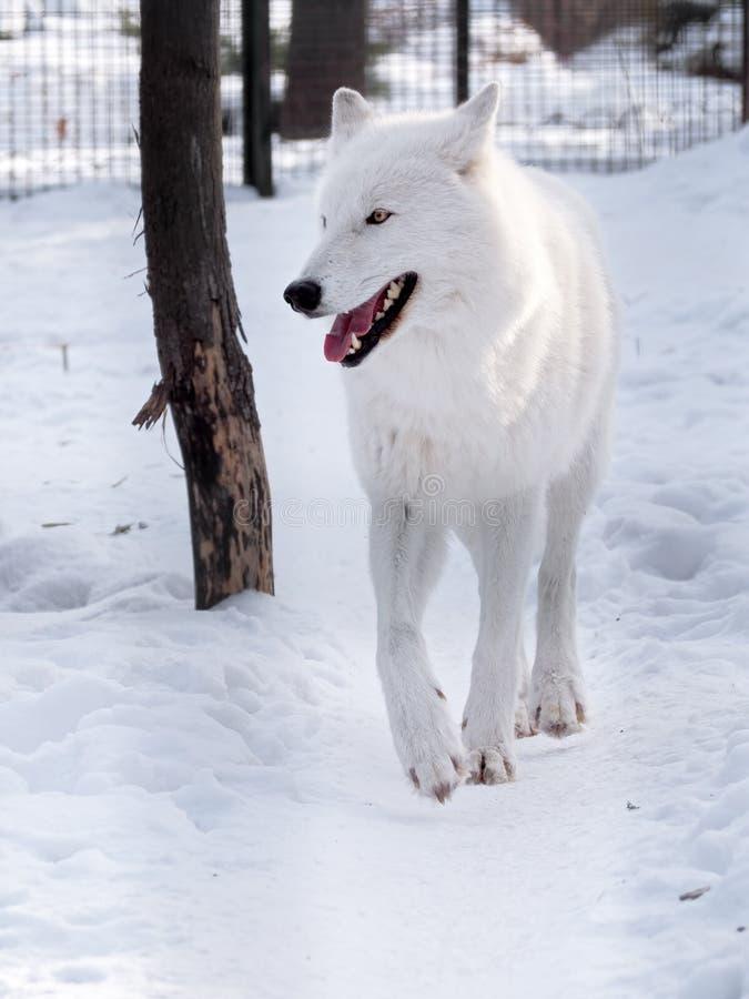 Witte wolf die bij de sneeuw lopen en aan recht kijken stock foto