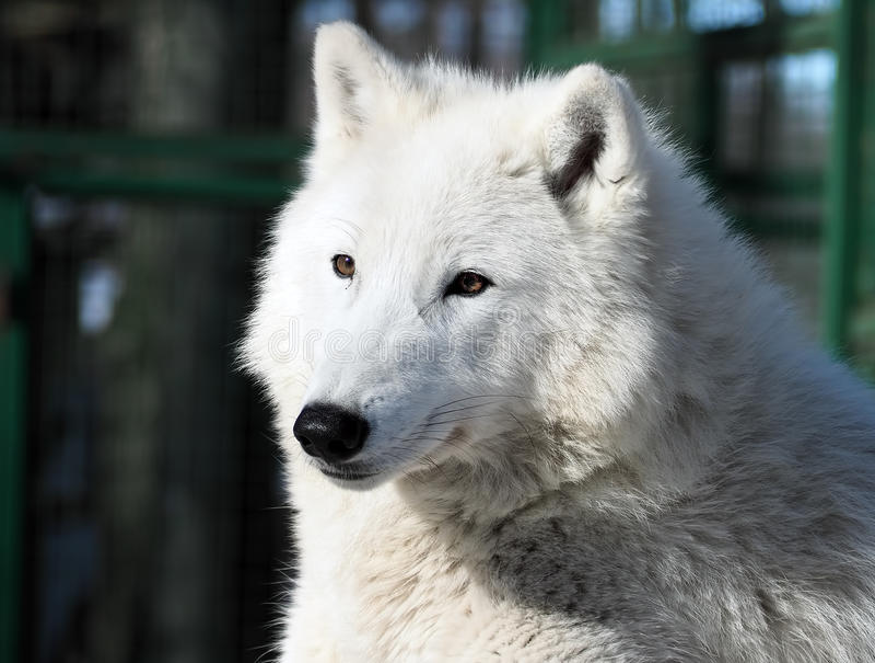 Witte wolf die bij het sneeuwclose-up leggen stock foto