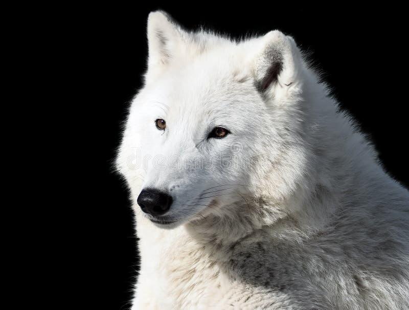 Witte wolf die die close-up leggen bij zwarte wordt geïsoleerd royalty-vrije stock foto