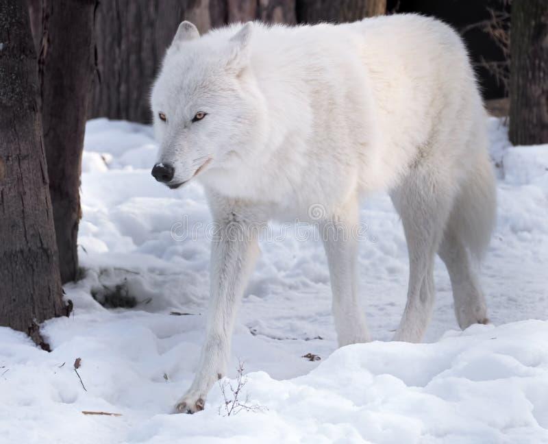 Witte wolf ernstig bij sneeuw stock foto
