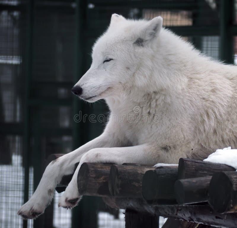 Witte Wolfsslaap royalty-vrije stock foto